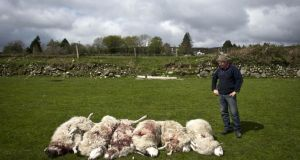 Farmer Eoin Brady with the six sheep that were shot dead in Co Wicklow. Photograph: Garry O'Neill
