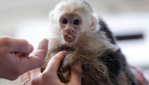 "Capuchin monkey 'Mally"" sits on the head of an employee in an animal shelter in Munich, Germany. Photograph: Matthias Schrader/AP Photo"