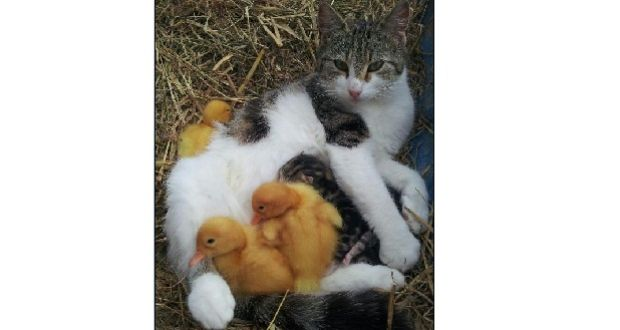 A cat in Co Offaly has opted to care for young duckling chicks alongside her own kittens.