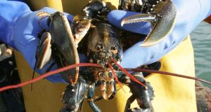 Low sea temperatures and inclement weather have reduced lobster yields, resulting in record prices. Photograph: Alan Betson