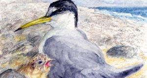 Wicklow beaches: nesting terns have to be fenced off. Illustration: Michael Viney