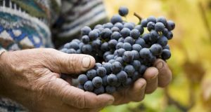 DNA analysis of Italian grapes has highlighted particular genes that could be used to improve berry and wine quality, scientists say.  Photograph: Fulvio Roiter
