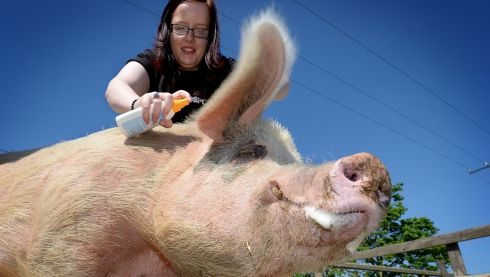 Hollie Swift, a member of staff in the DSPCA applies sun cream to Fergi the saddleback pig  in Dublin. Photograph: David Sleator/The Irish Times