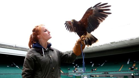 Imogen Davis with Rufus, a Harris Hawk used at the Wimbledon Tennis Championships to scare away those pesky pigeons. Photograph: Eddie Keogh/Reuters
