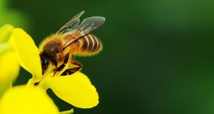 Irish honeybee populations may be restored to the wild under a new research project led by NUI Galway