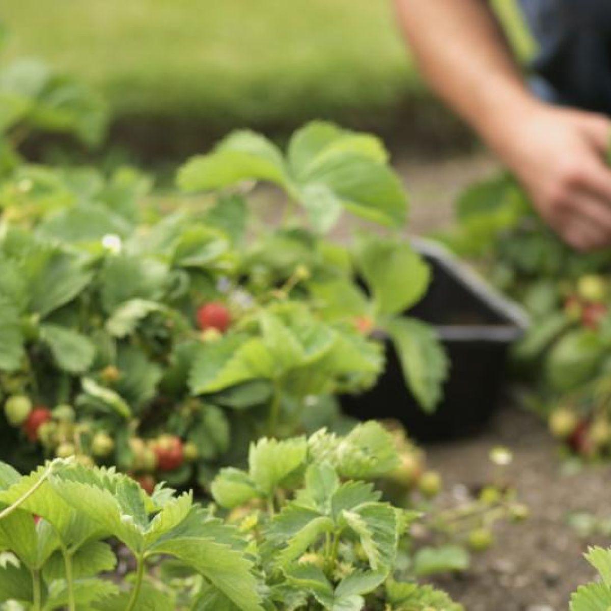 500 Seeds Strawberry Mara Des Bois Bio