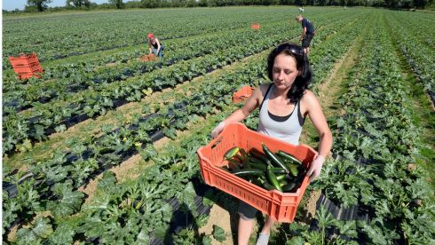 Aliza Kepa from Poland picking the first courgettes of the seaon two weeks early due to the sunshine at a farm in Oldtown, Co Dublin. Photograph: Brenda Fitzsimons/The Irish Times