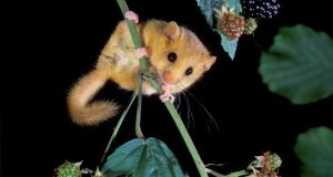 Dormice have only recently been recorded in Ireland, this one was pictured in Co Kildare by Hugh Clark.