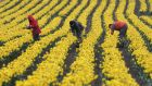 Daffodils being picked ahead of the Irish Cancer Society's annual daffodil day. Photograph: Frank Miller