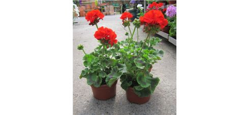 These large geranium plants have been reduced from €3.50 to €2.35 each at Urban Plant Life on Cork Street, Dublin 8 (01-4536201, plantlife.ie). Boxwood ball-shaped trees (50cm-60cm in diameter), are reduced from €125 to €100, and Boxwood pyramid trees (about 120cm tall) are down from €98 to €68. Lollipop bay trees (about 160cm tall) are reduced from €140 to €98. Offers are while stocks last.