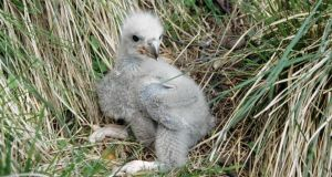 File picture of a young sea eagle chick.  Two native white-tailed sea eagle chicks have taken to the skies over Kerry for the first time in more than 100 years. Photo credit should read RSPB/PA