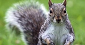 County officials and the US Forest Service shut the campgrounds  on Wednesday after a trapped squirrel tested positive for the disease. Photograph: Getty