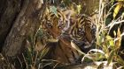Tiger cubs in the wild. The WWF wants to double the number of wild tigers by 2022