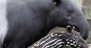The little girl was attacked by a Brazilian Tapir during one of the zoo's 'regular supervised animal visits'. File photograph:   Andrew Milligan/PA Wire.