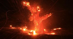 Wind-blown embers fly from an ancient oak tree that burned in the Silver Fire near Banning, California. Photograph: Reuters