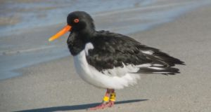 Dublin Bay Birds: the Dublin oystercatcher known as AJ, photographed in Norway. Photograph: BirdWatch Ireland