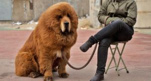 Hear me roar: a Tibetan mastiff. Easily mistaken for an African lion, wouldn't you agree? Photograph: Getty Images