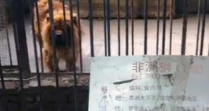 An image posted on Sina Weibo microblogging website of the 'lion' in Luohe zoo