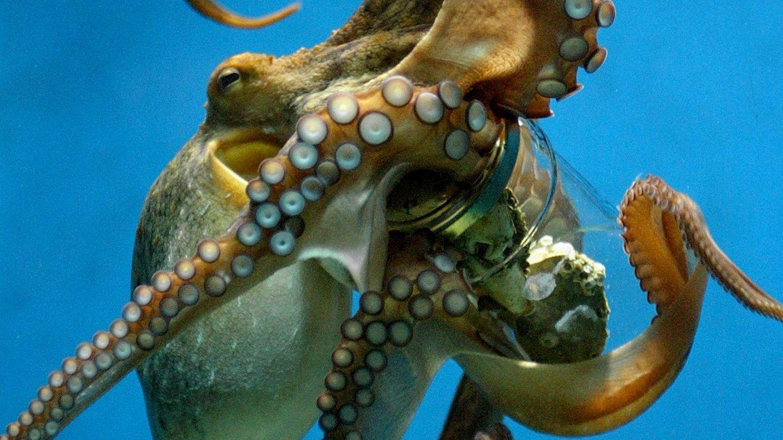 Octopus attacks on humans