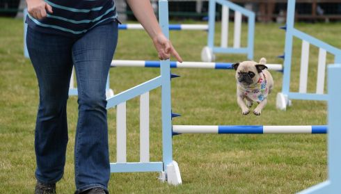 Sgt. Bilko, a one eyed pug on a dog agility course at the 72nd Virginia Show, in Co. Cavan on Wednesday. Photo: Dara Mac Donaill / THE IRISH TIMES