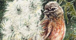 Taking its time: a linnet digs into thistles' silky fluff. Illustration: Michael Viney