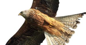 Red Kite: Several kites have been fitted with solar-powered satellite tags that relay the position of the birds up to six times a day.