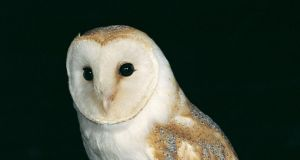 Barn owls feed almost exclusively on small mammals, making them susceptible to consuming contaminated rodents.
