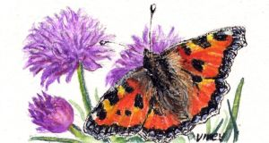 Rare sight?: a small tortoiseshell butterfly. Illustration: Michael Viney