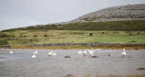 Swans on Lough Muree beside the Flaggy Shore in North Clare. Photograph:  Eamon Ward