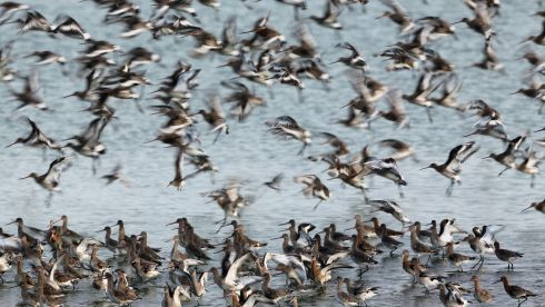 Godwit flock together s during the incoming tide at the RSPB's Snettisham Nature reserve today. Photograph: Dan Kitwood/Getty Images