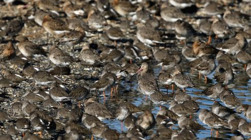 Godwit and other waders gather at the RSPB's Snettisham Nature reserve. Photograph: Dan Kitwood/Getty Images