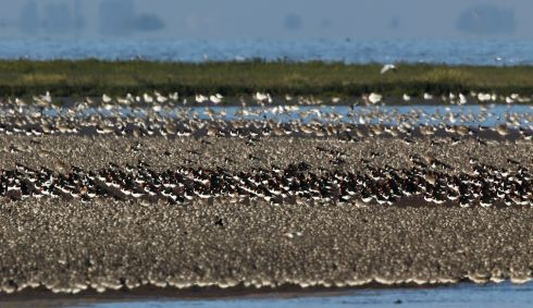 Oystercatchers, Knot and other waders shuffle across the mud flats. Photograph: Dan Kitwood/Getty Images