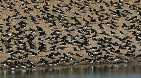Oystercatchers gather after seeking new feeding grounds during the incoming tide at the RSPB's Snettisham Nature reserve. Photograph: Dan Kitwood/Getty Images