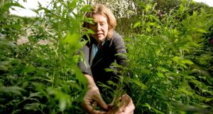 Foraging: Sylvia Thompson picks mugwort at the Organic Centre's workshop. Photograph: James Connolly/PicSell8