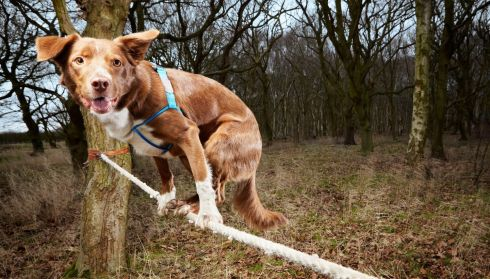 Ozzy, a Border Collie/Kelpie crossbreed from Norwich in England, who has made it into the Guinness Book of World Records for the fastest crossing of a tightrope by a dog. The 4-and-half-year-old successfully crossed a rope measuring 3.5 meters in 18.22 seconds. Photograph: PA/Guinness Book of Records