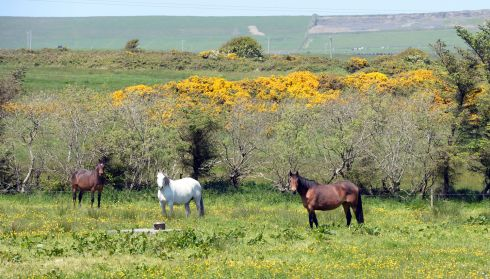 Horses grazing on the Loop Head Peninsula near  Kilkee , Co. Clare. Photograph: Alan Betson/The Irish Times