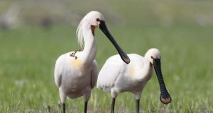 Looking for lunch: spoonbills feed by sifting food from mud. Photograph: J Morales/Age/Getty