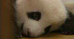 Panda cubs do not open their eyes until about 100 days after birth. Some of the pandas werre born during July.
