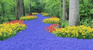 Bulbs in the Keukenhof gardens in The Netherlands, including grape hyacinths