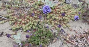 Invaded territory: the dune gilia, a rare California flower threatened by marram grass. Photograph: Jackie Sones