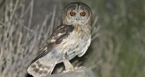 Undated handout photo issued by Keith Betton Consulting of an omani owl, a species completely new to science.