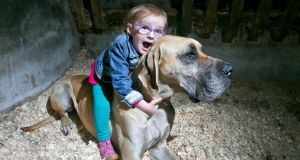Brianna Lynch (3) who suffers from epilepsy pictured at her home in Killaloe with her Great Dane Charlie. Photograph: Arthur Ellis