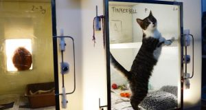 Cats in the DSPCA centre in Rathfarnham