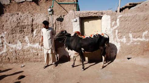 An Afghan man stands with his cow as he waits for his turn to slaughter it during the annual festival of Eid al-Adha or the Festival of Sacrifice at Kacha Garhi Afghan refugee camp, located in the outskirts of Peshawar, Pakistan. Photograph: Fayaz Aziz/Reuters