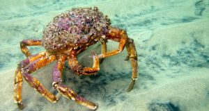Life aquatic: a spider crab in Keem Bay, on Achill Island. Photograph: Richard Thorn