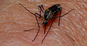 A mosquito prepares to bite. If a mosquito is carrying a parasite called plasmodium, it can then travel to the person's liver, where it multiplies. One of the treatment options is the drug mefloquine, sold under the brand names Lariam, Mephaquin or Mefliam.