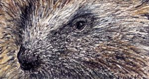 Hedgehog: tricky to study in the wild. Illustration: Michael Viney