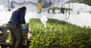 A member of the Garda National Drugs Unit looks at some of the 1,800 cannabis plants seized in Tralee, Co Kerry,  last month. Photograph: Domnick Walsh/Eye Focus