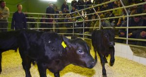 The company deals with about €30 million in livestock exports a year and was buying cattle in Ireland for sale into markets in Italy.