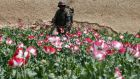 An Afghan army soldier walks through a poppy field  in the Maiwand district in Kandahar province, southern Afghanistan. Photograph: Baz Ratner/Files/Reuters.